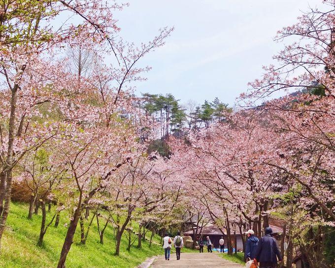 里内にはソメイヨシノが咲き誇る「さくら広場」も