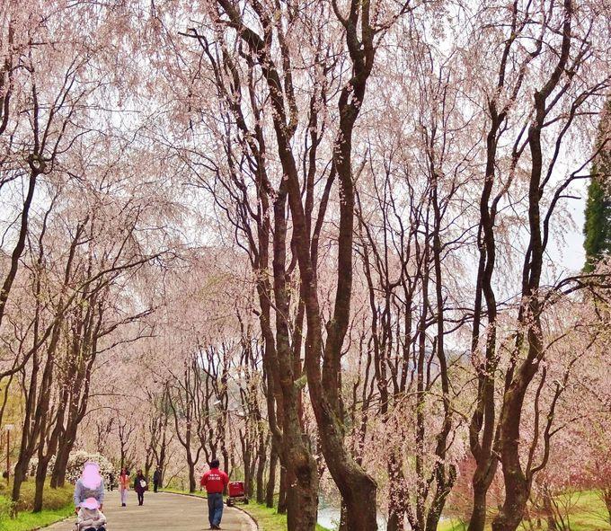 圧巻の250本のしだれ桜〜可愛い小さな桜の花がぎっしり