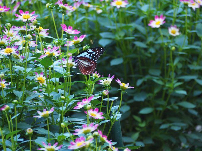 蝶との競演と祝杯をあげたくなるハッピーな花も