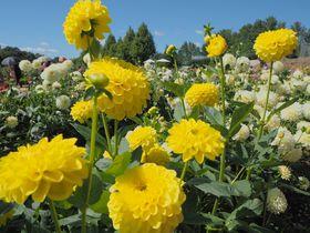 広島県 世羅高原農場でダリアの舞踏会へ〜花旅で癒されよう