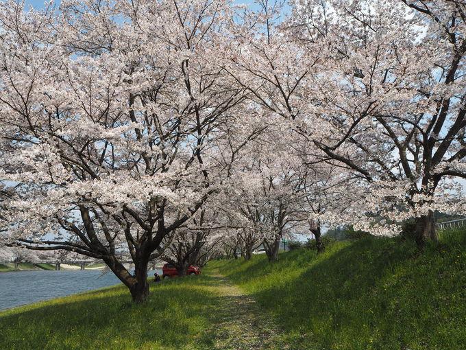 雲南市三刀屋町〜圧巻の三刀屋川河川敷に咲き誇る3kmの桜並木