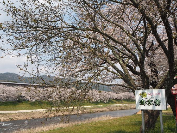 ソメイヨシノから八重桜、枝垂桜の饗宴〜御衣黄は4月下旬のお楽しみ