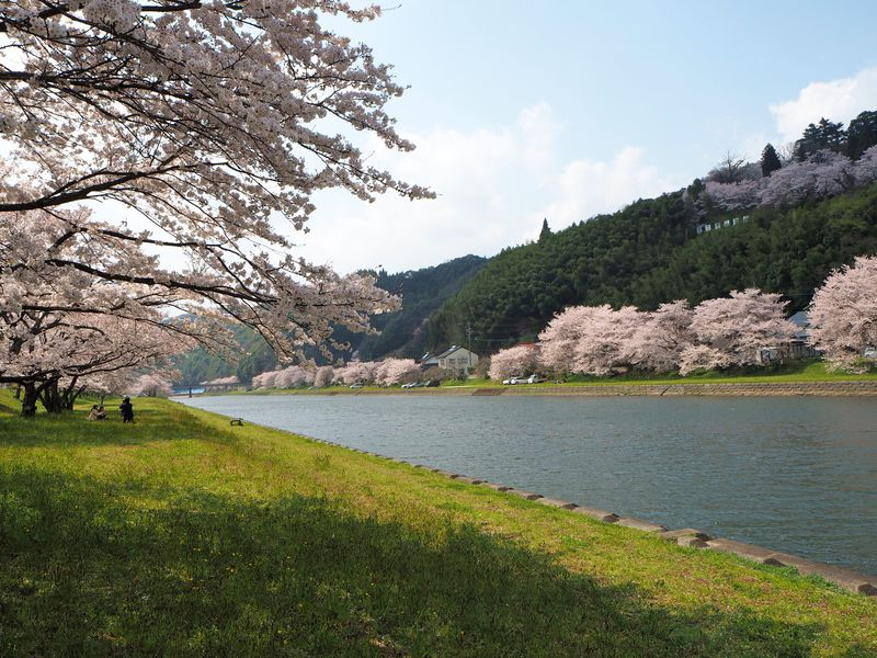 島根県の桜スポット「三刀屋川河川敷」圧巻の桜色と御衣黄の黄緑