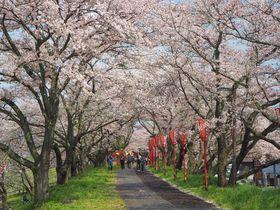 島根の春は雲南市から!斐伊川堤防の桜のトンネルを歩こう