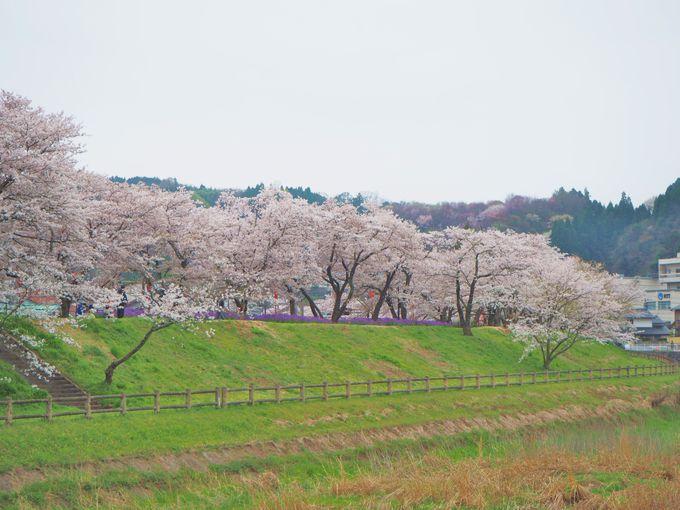 桜と色鮮やかな春の花々ともコラボしてさらに美しく