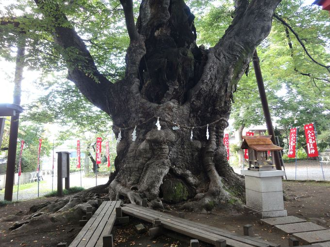樹齢約1000年!「龍神木」