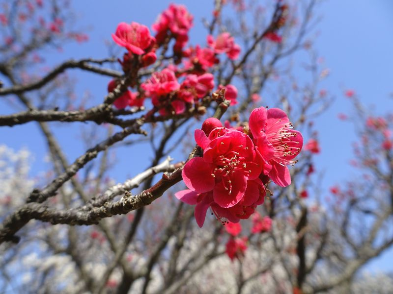 大陶器市にパワースポットも!埼玉「大宮公園 梅まつり」の魅力