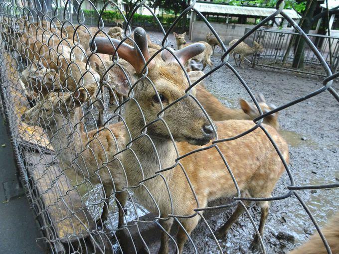 三嶋大社の神のお使いは、鹿ではなく「うなぎ」です!