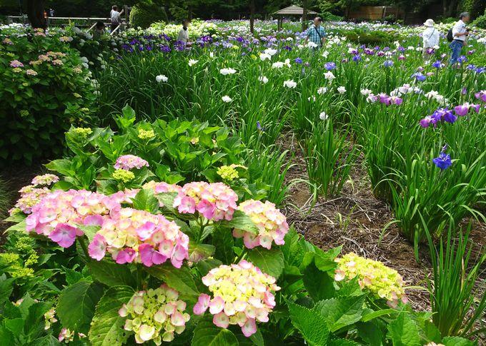 紫陽花と花菖蒲のコラボも見られる!