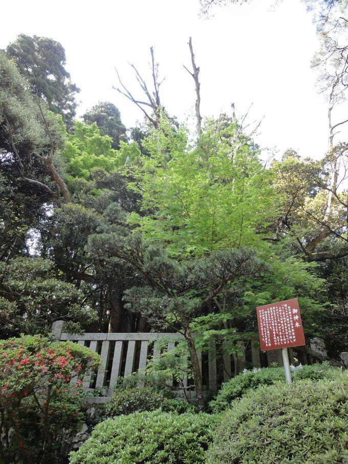 神様が宿る樹林〜二の鳥居付近にある「御神木」