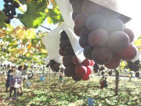 山梨「果物王国」でぶどう狩りと清里ナチュラルブッフェに大満足のショートトリップ!