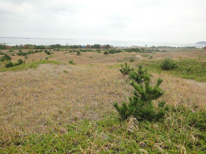 「砂丘観察園路」で生命力の強い植物を愛でる!