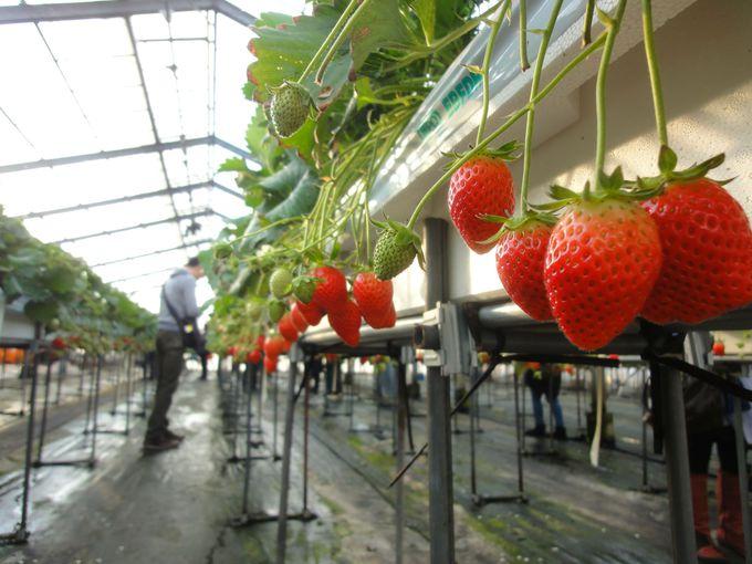 『果実の里 原田農園』で、イチゴ狩り!