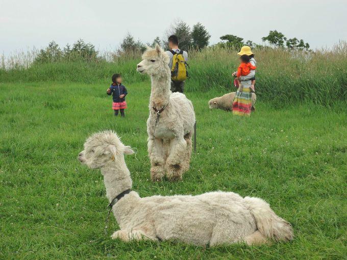 アルパカ、ヤギ、ヒツジと写真が撮れる