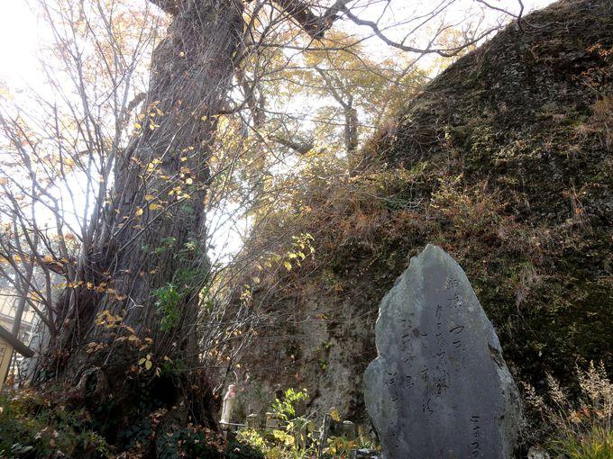 スポット2:樹齢千年超!伝説をもつ「桂の木」