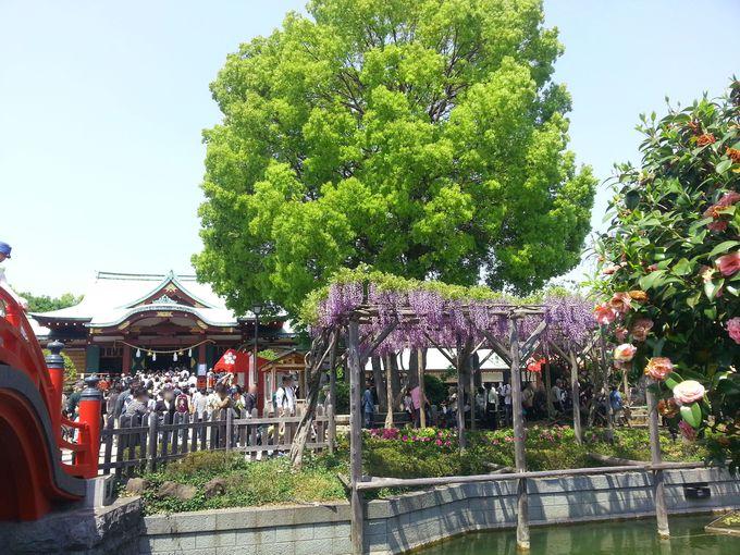 見どころ4:亀戸天神社と藤