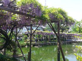 4月下旬から見頃!「亀戸天神社の藤まつり」5つの見どころ