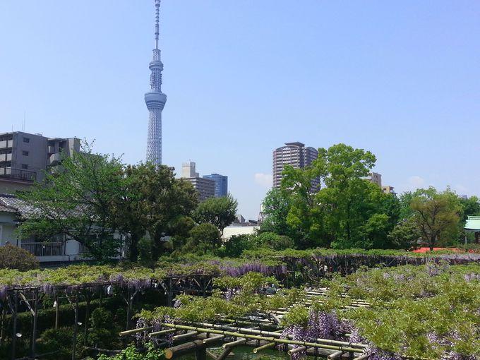 見どころ1:東京スカイツリーと藤棚