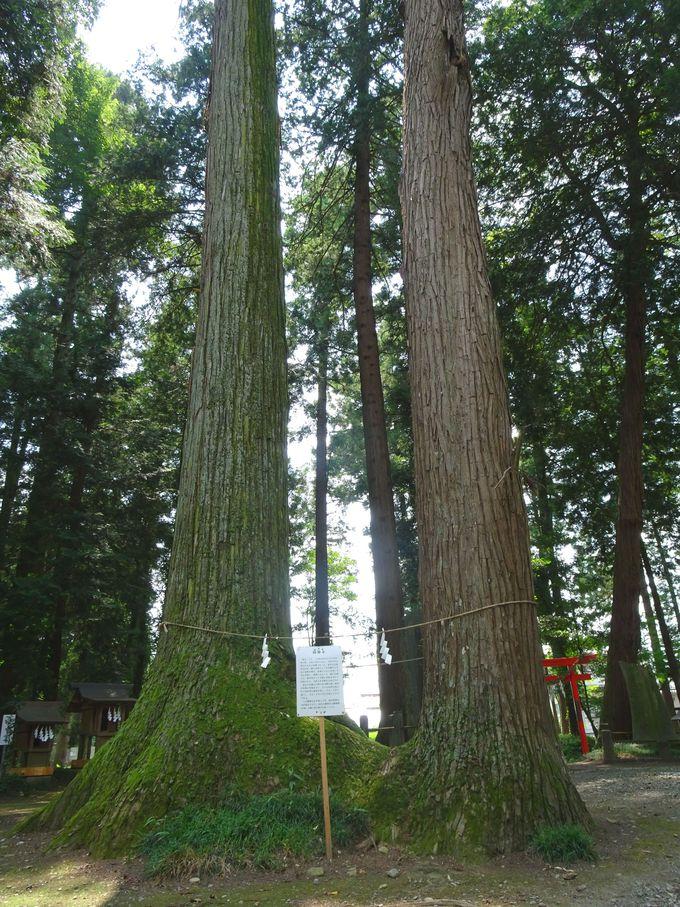 大神神社のご神木もすごい!