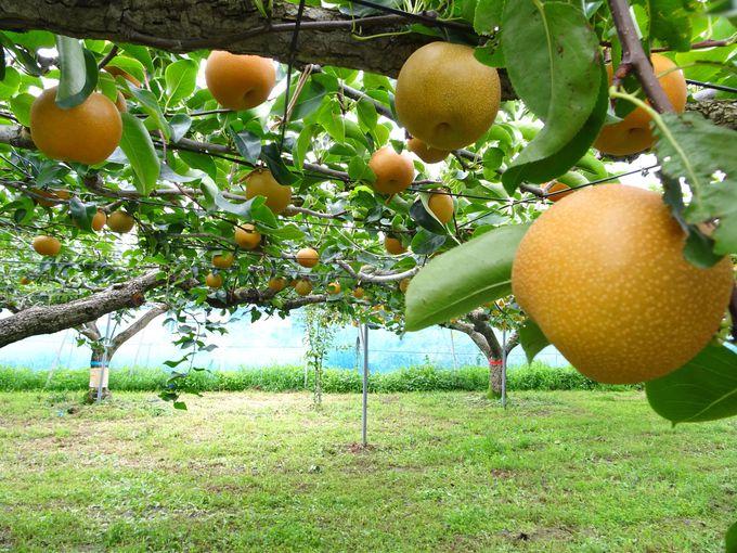 名物「東平の梨」…東松山には20以上の観光農園がある!