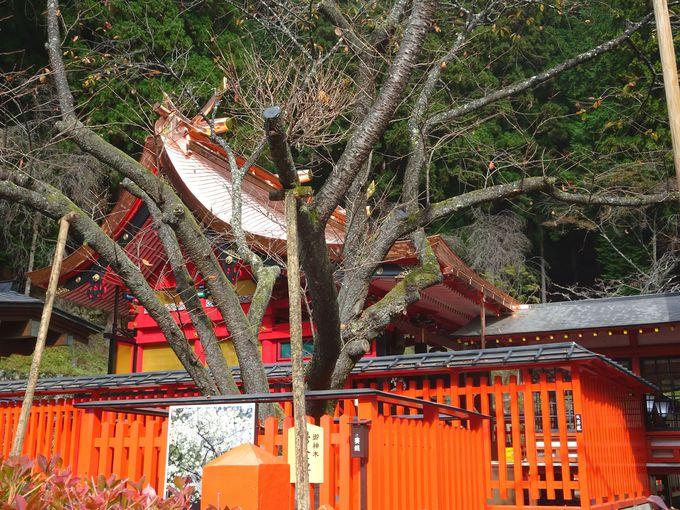 ご本殿&ご神木「鬱金(うこん)の櫻」