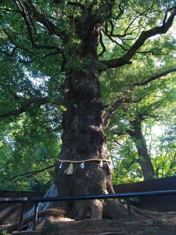 樹齢600年以上! 歴史を見守り続ける「大楠」