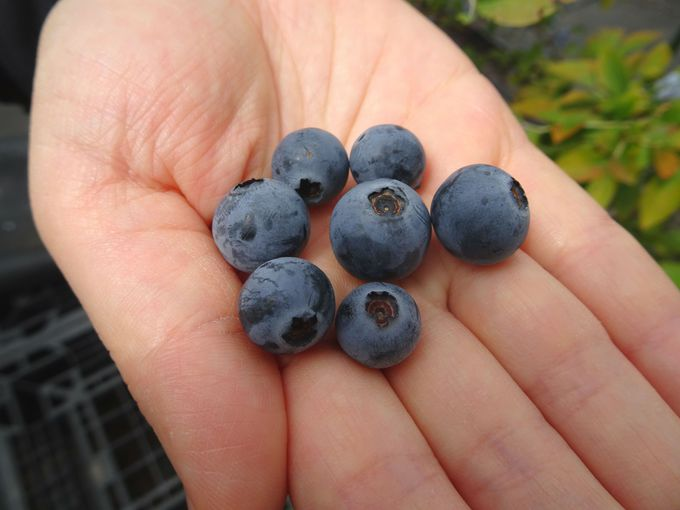 大粒で甘い! 完熟のブルーベリーはポロっと摘み取れる
