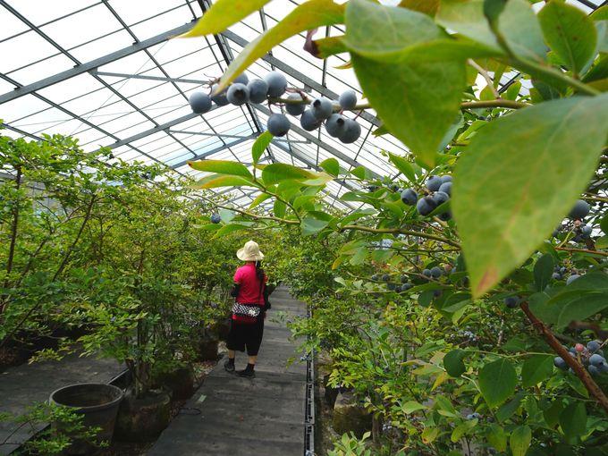 40分間6品種のブルーベリーが食べ放題! 伊豆の国市「大富農園」