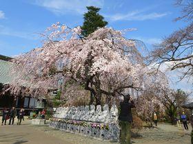 春満開!しだれ桜の超穴場スポット 埼玉「宝幢寺」でオトナお花見