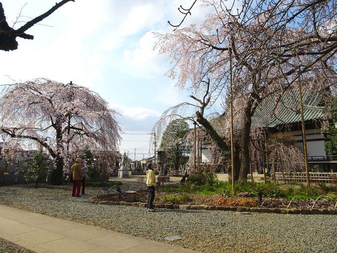 しだれ桜のコラボレーションも!