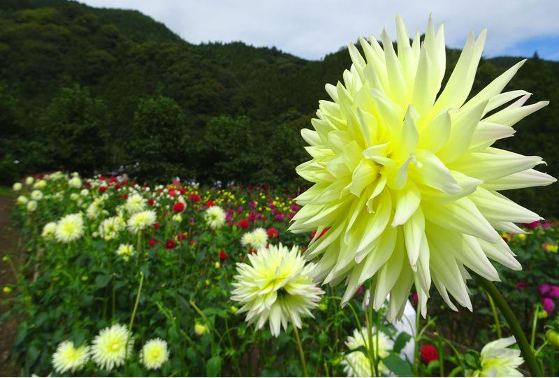 人気の観光地・秩父にダリアが咲き乱れる!「両神山麓 花の郷 ダリア園」