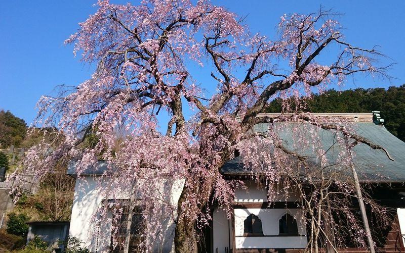 しだれ桜の名所!伊豆の国「龍源院」は子授けの穴場パワースポット