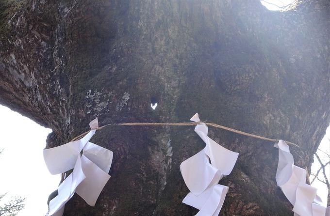 縁結び・開運パワースポットのご神木「しなの木」。幹にはハートの穴も!