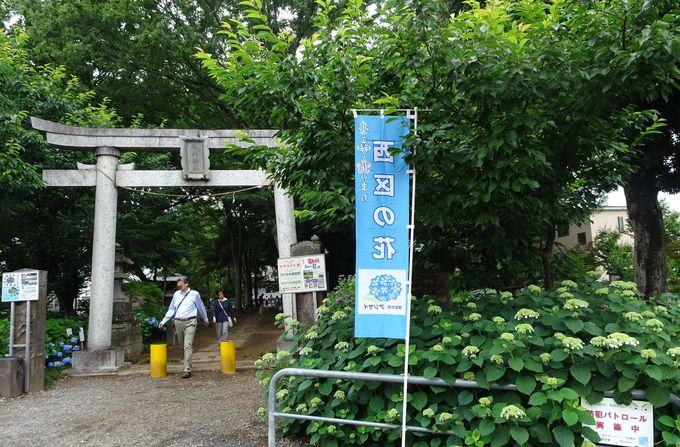 約350種ものアジサイを観賞!さいたま「指扇氷川神社」