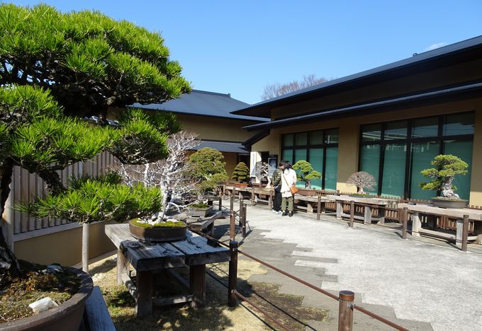 世界が注目!Bonsai…「大宮盆栽美術館」