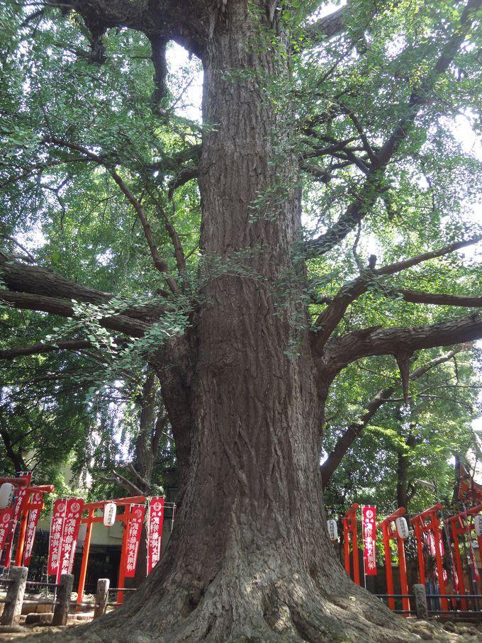樹齢約700年!雄株の大公孫樹は「子授け銀杏」