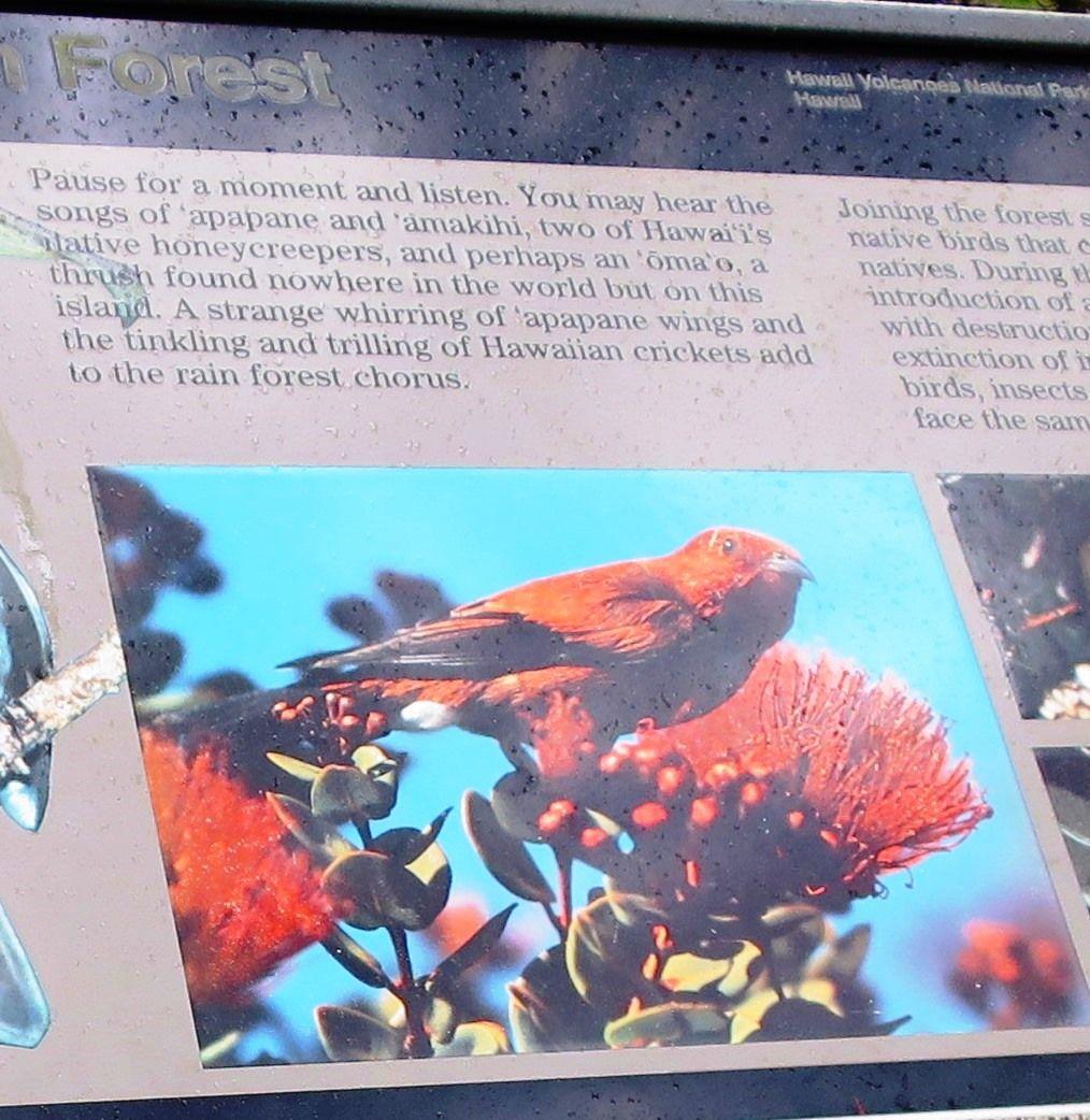 ハワイ固有種の鳥「アパパネ」
