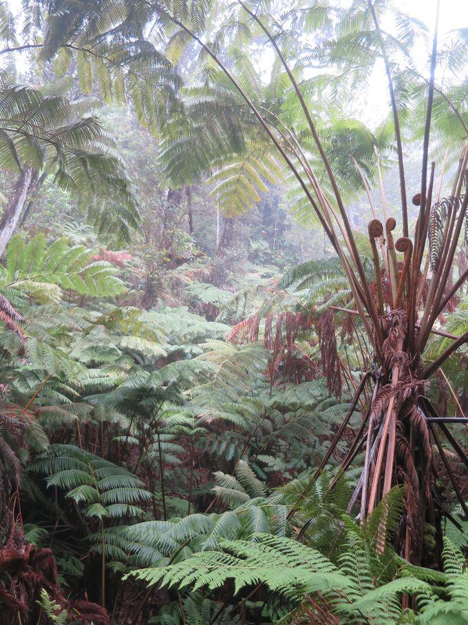 巨大シダの生い茂る森はまるで『ジュラシックパーク』