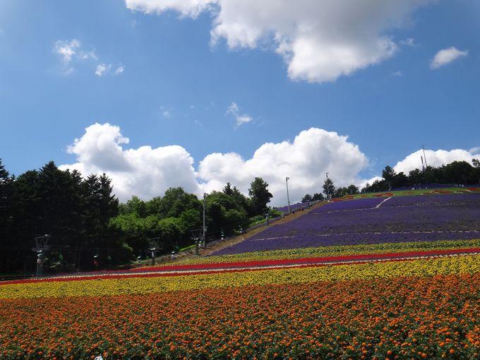 リフトから眺める、中富良野町営ラベンダー園。