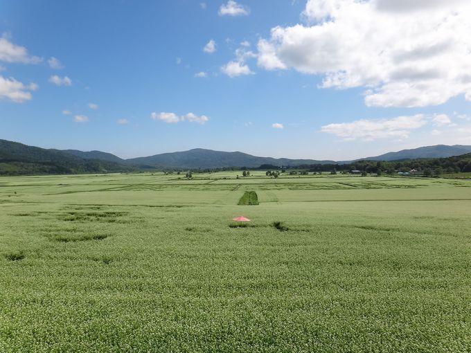 歩いてそば畑の中へ