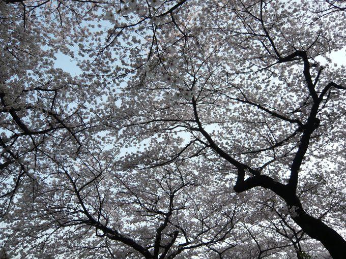 視界一面の桜や桜ドーム!