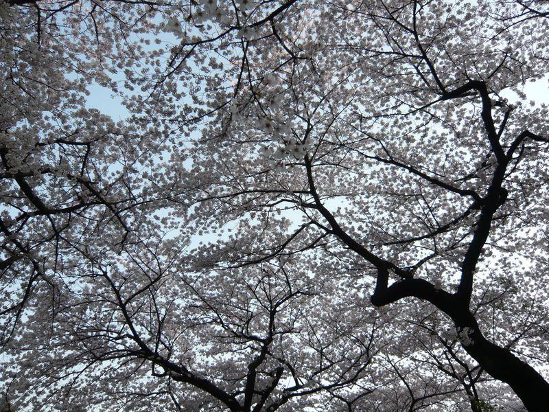 空が見えない!?視界一面が桜!?東京「千代田のさくらまつり」の楽しみ方!!