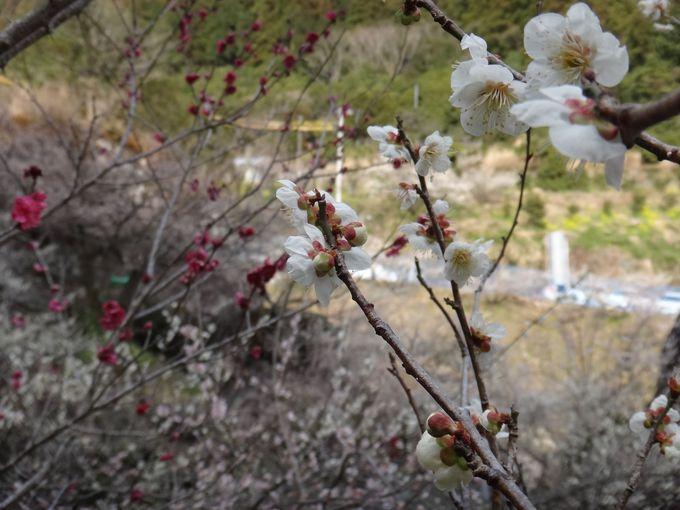 赤にピンクに白と、様々な種類の梅の花
