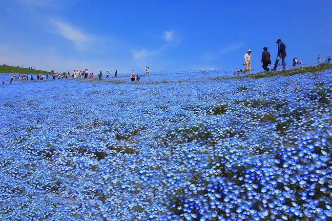 一面に広がる青の絨毯は圧巻の一言!