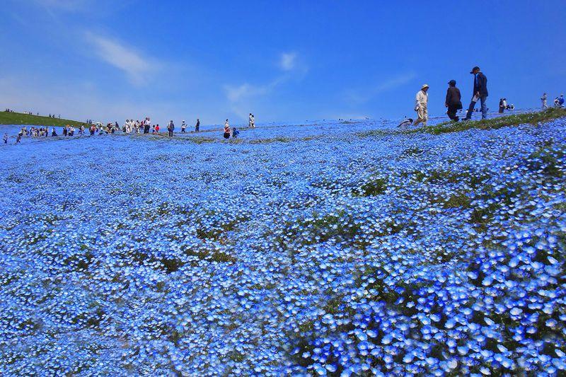大ネタ寿司食べ放題!ネモフィラの青い絨毯!はとバスで行くひたち海浜公園