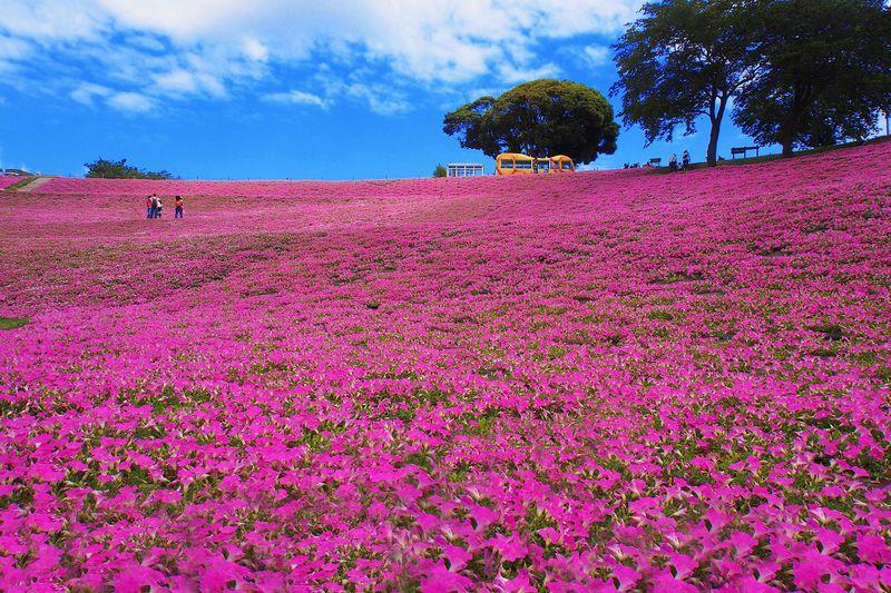 マザー牧場の綺麗で美しい花畑