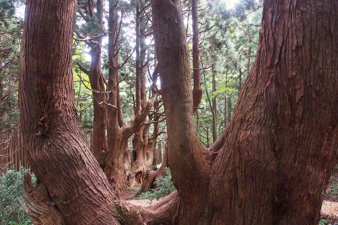最上峡「幻想の森」は日本有数のスギの群生地