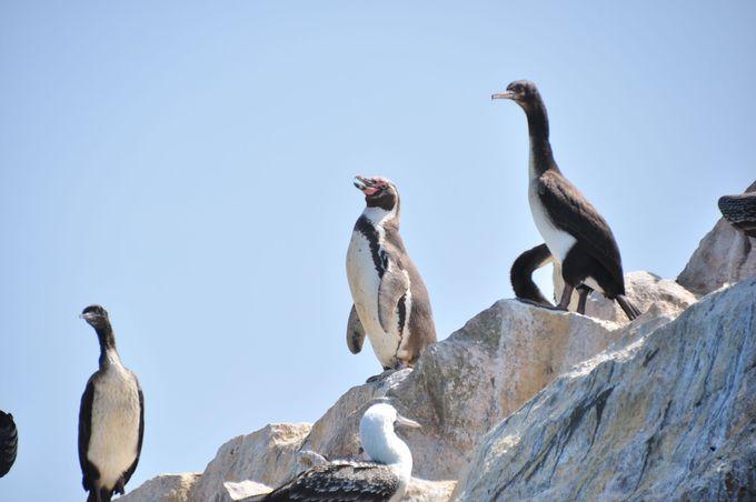 絶滅危惧種フンボルトペンギンも