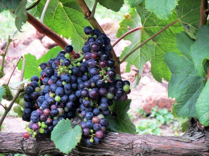 ウルグアイワインは、じっくり、丁寧に....
