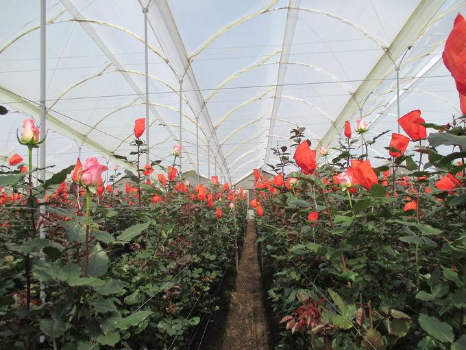 バラの産地で有名なカヤンベ